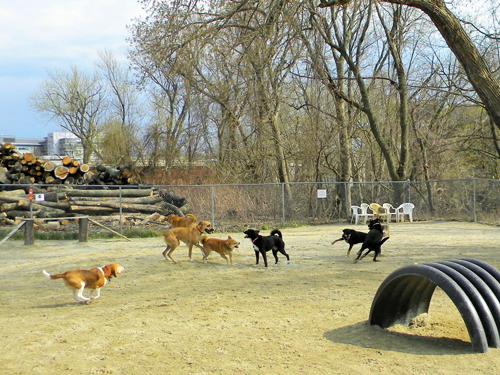 Group of dogs playing dog park in spring